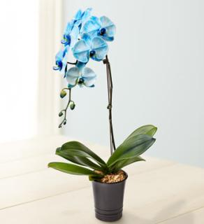 Blue Orchid for Sympathy